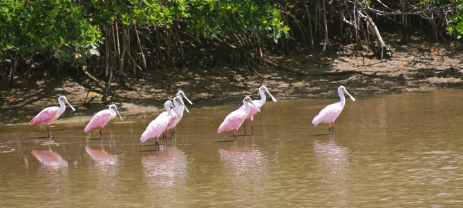 Roseate Spoonbills in the glades