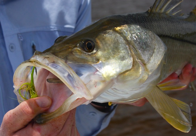 up close and personal with a snook caught on fly