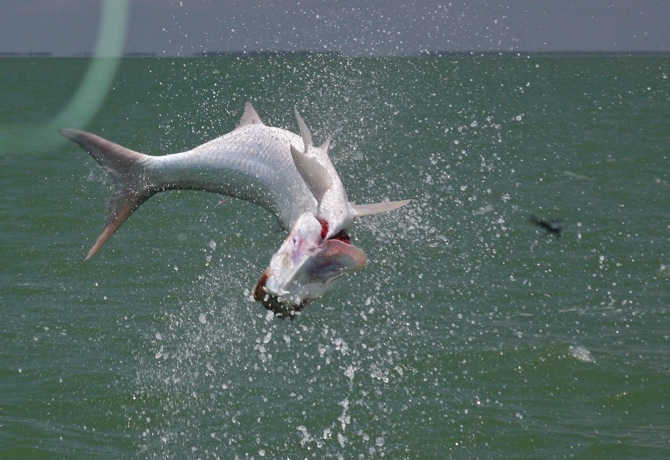 jumping tarpon with fly coming back