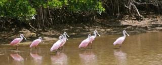 Everglade Spoonbills