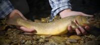 cutthroat trout caught fly fishing in Wyoming
