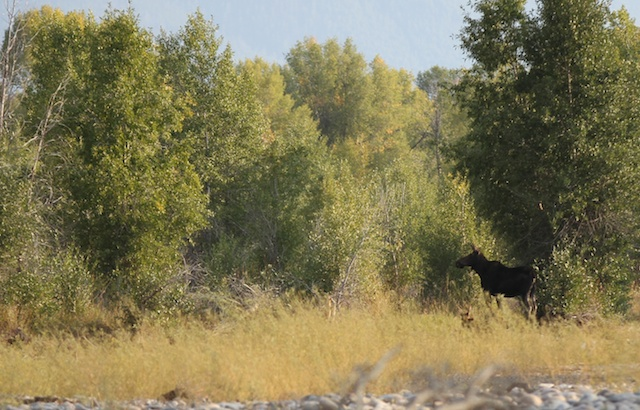 Moose sighting on a guided fly fishing trip