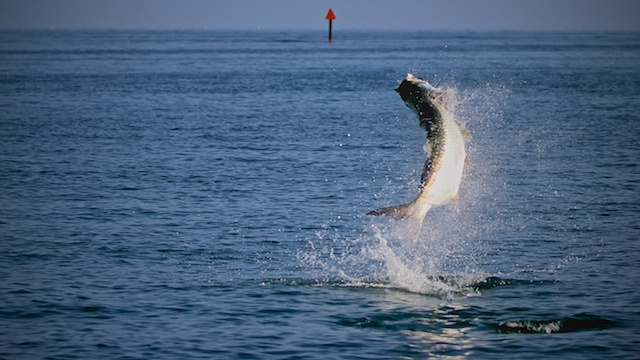 tarpon jumping with Capt Andy Parker